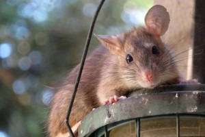 Rat extermination, Pest Control in Palmers Green, N13. Call Now 020 8166 9746