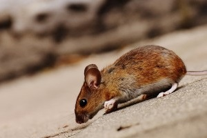 Mice Exterminator, Pest Control in Palmers Green, N13. Call Now 020 8166 9746