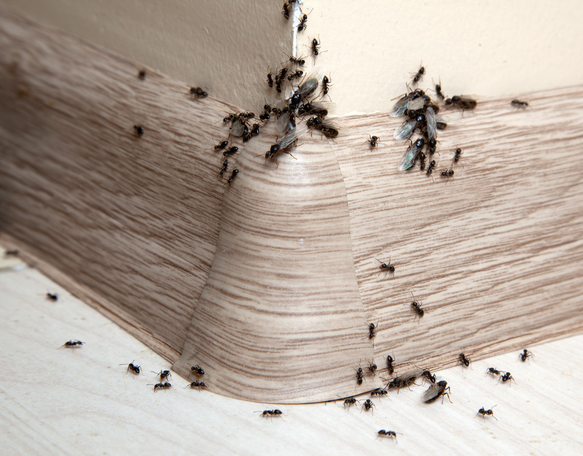 Ant Infestation, Pest Control in Palmers Green, N13. Call Now 020 8166 9746