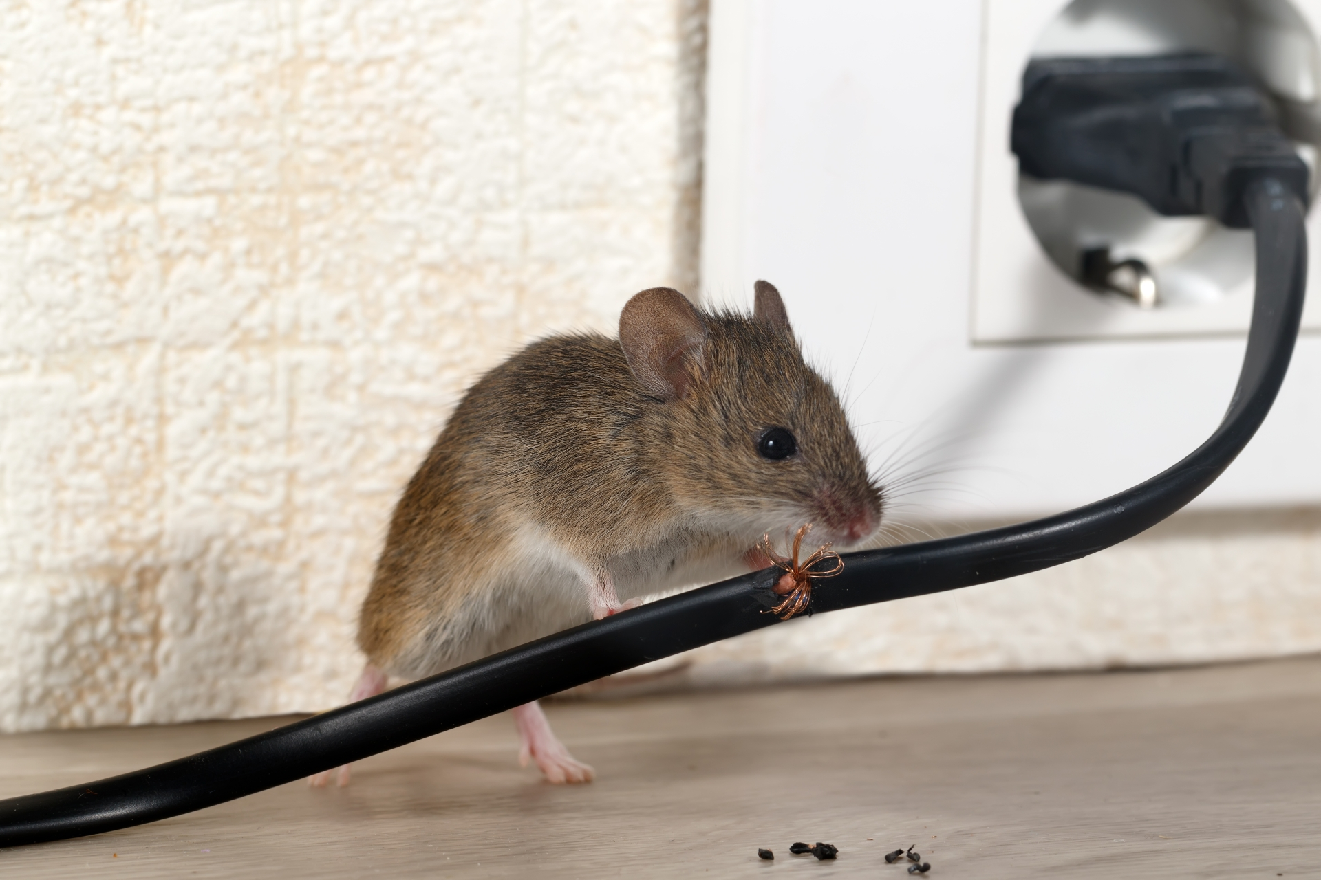 Mice Infestation, Pest Control in Palmers Green, N13. Call Now 020 8166 9746